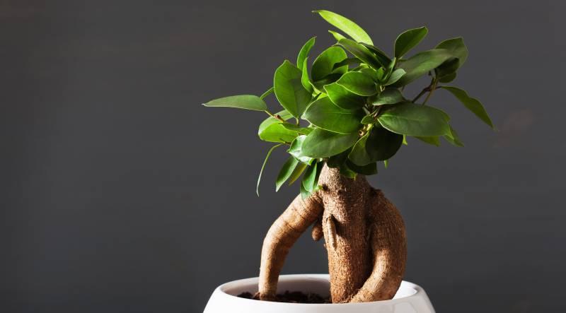 planta care imbunatateste erectia)